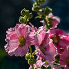 Hollyhocks...