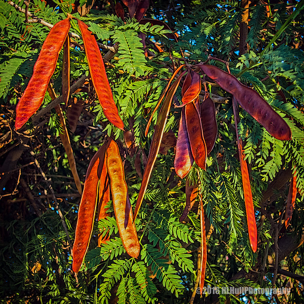 Acacia seed pods...