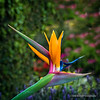 Bird of paradise flower...