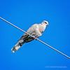 Ring-necked turtle dove...