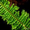 Sword fern...