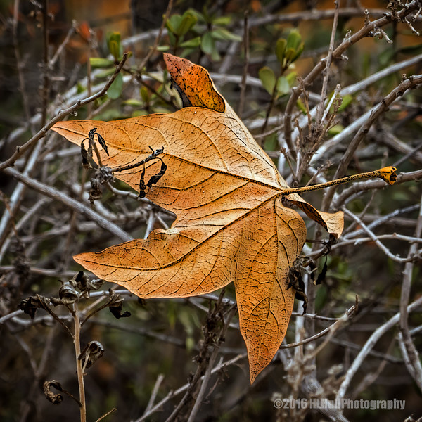 Fallen leaf of sweetgum...