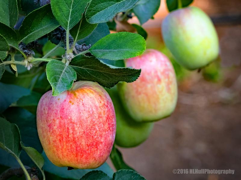 Anna apples...