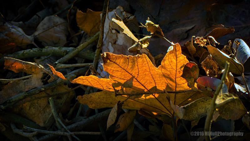 Backlit leaf...