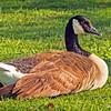 Canada goose...