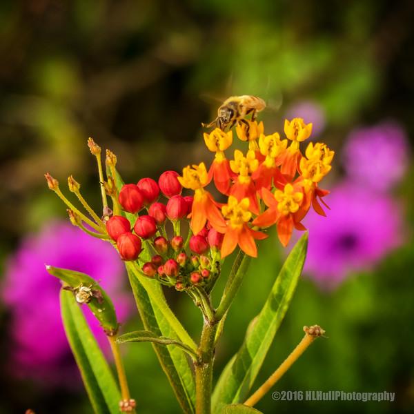 Milkweed and a bee...