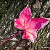 Red leaf...