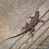 Western fence lizard...