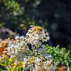Bee on buckwheat...