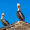Brown pelicans...