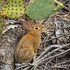 Wild brown rabbit...