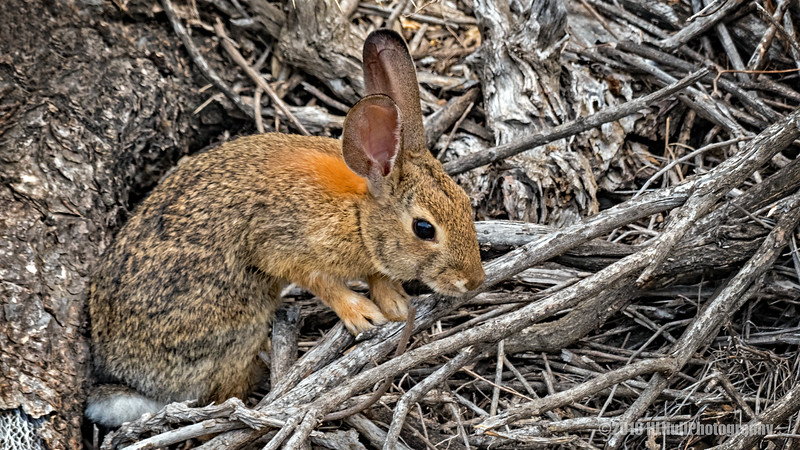 Wild brown rabbit...