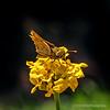 Skipper butterfly...