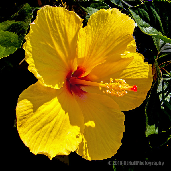 Yellow hibiscus...