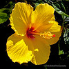 Yellow hibiscus...