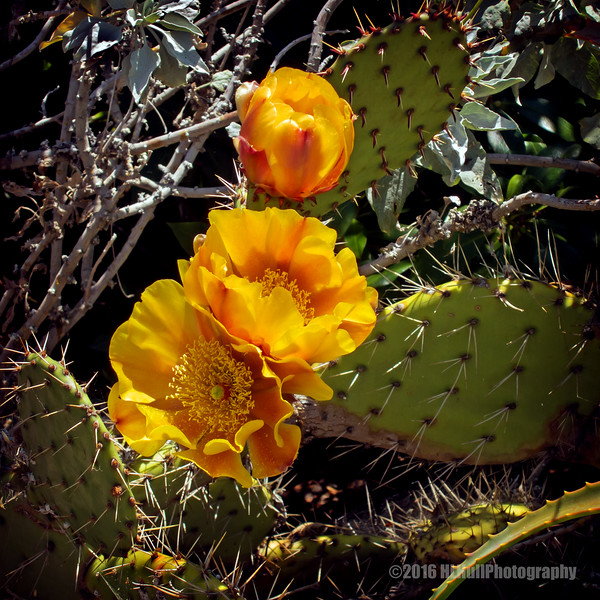 Prickly pear blossoms...