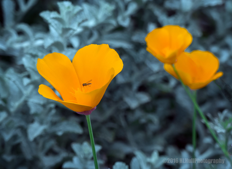 California poppies...
