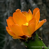 Prickly pear blossom...