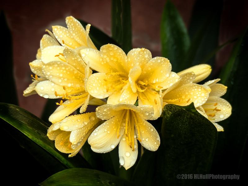 Yellow Clivia...