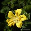 Hibiscus...