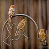 House finches...
