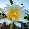 Night-blooming cereus...