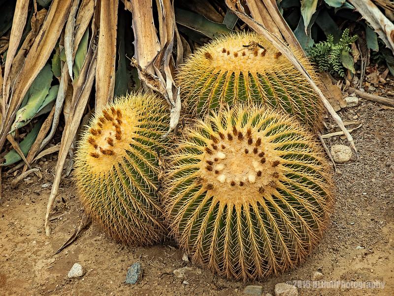 Barrel cactus..