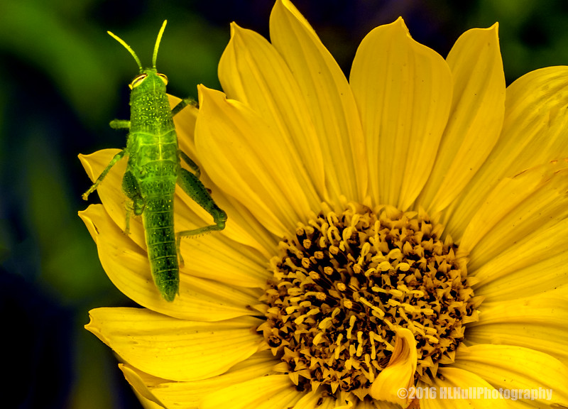 Grasshopper on a wild daisy...