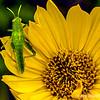 Grasshopper on a wild daisy...
