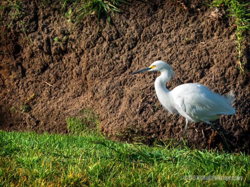 White egret...