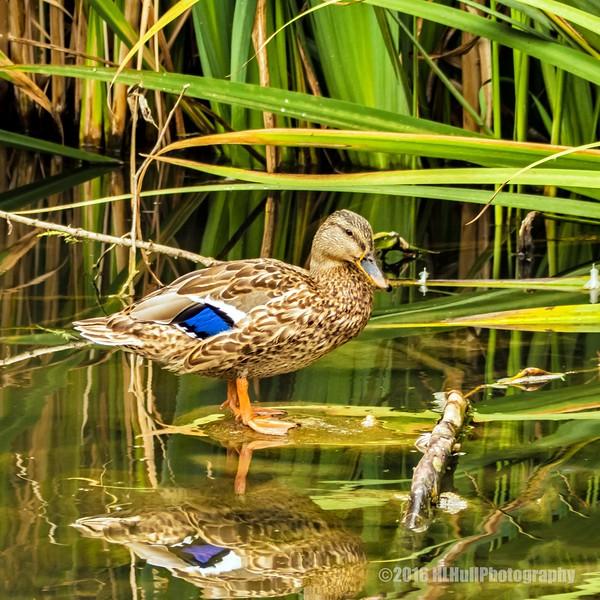 Mallard duck...