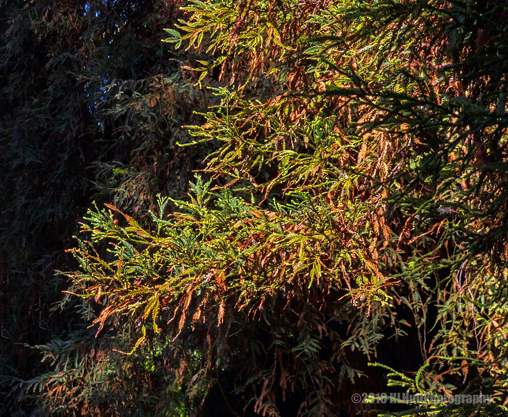 Redwood leaves...
