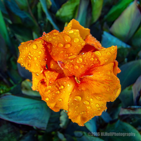 Canna bloom...