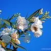 Oleander blossoms...