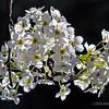Flowering Pear...
