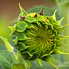 Sunflower bud...