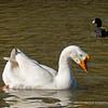 Chinese Swan Goose...