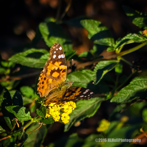 Painted lady...