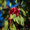 Eucalyptus ficifolia (red flowering gum)...