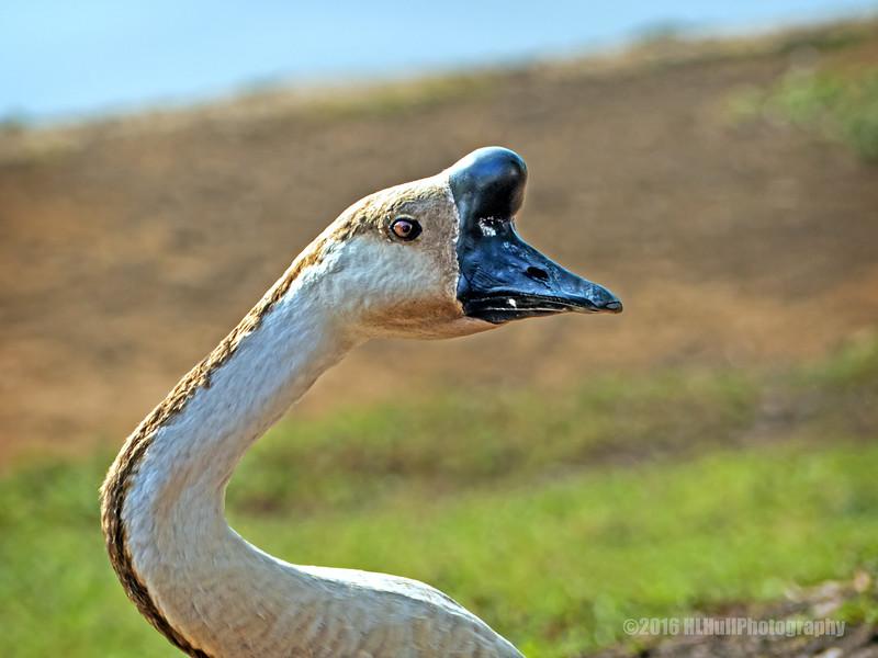 Swan goose...