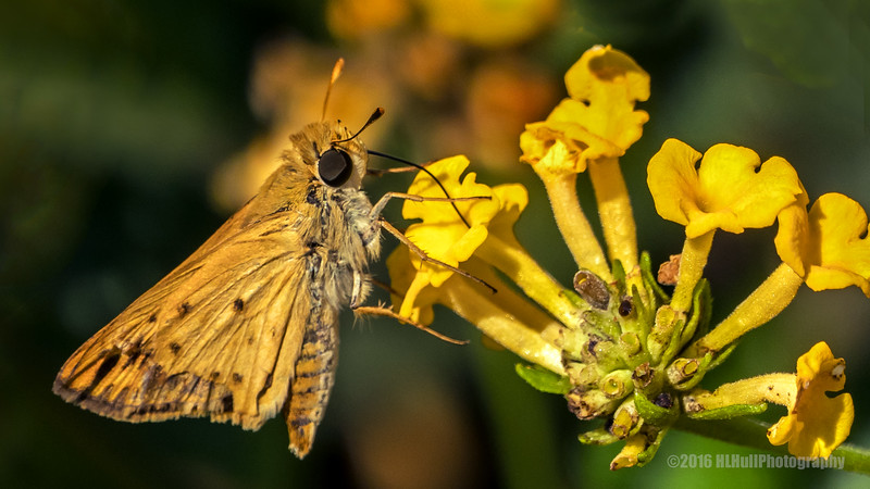 Skipper butterfly...