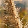 Pampas grass...