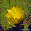 Prickly pear bloom...