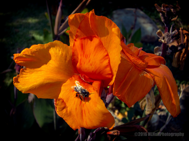 Canna lily and visitor...