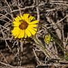 Wild daisy...