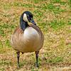Canadian goose...
