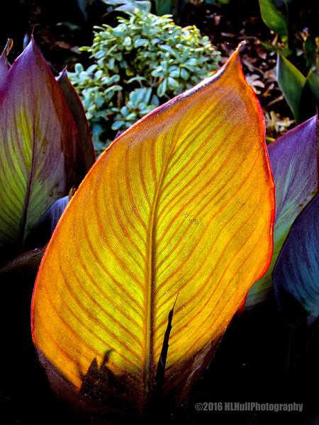 Canna leaf...