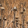 Dried  thistles...