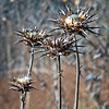 Dried Thistle...