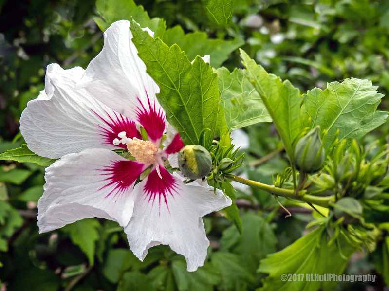 """Red Heart"" Rose of Sharon..."